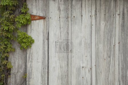 Old, wood wall with ivy, a rusty hinge, nails and holes