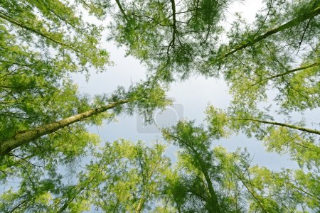 Photo pour Pinède ou Sky dans la forêt - image libre de droit