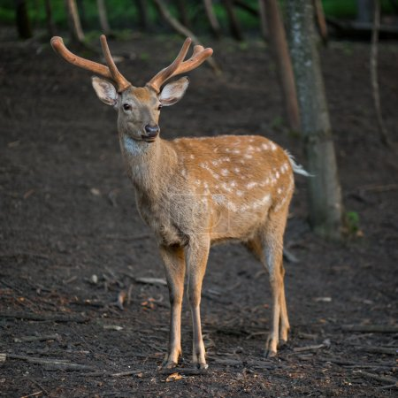The male of dappled deer standing in the forest.