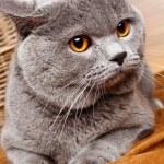 Постер, плакат: Portrait of British Shorthair cat