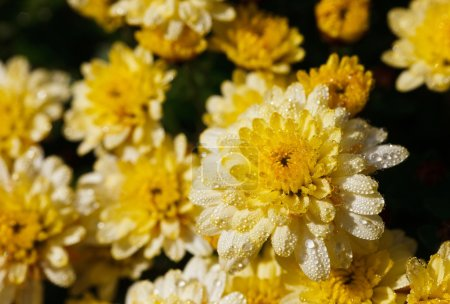 Photo for Yellow chrysanthemum flowers with dew drops, summertime - Royalty Free Image