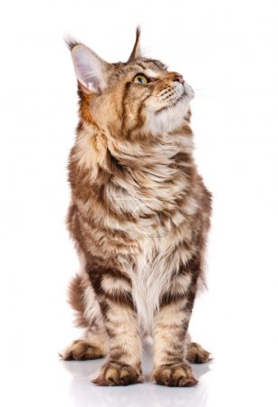 brown Maine Coon cat sits on a white background, photo studio