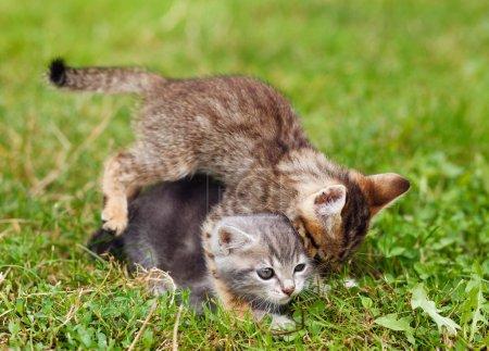 Playful kittens on the grass