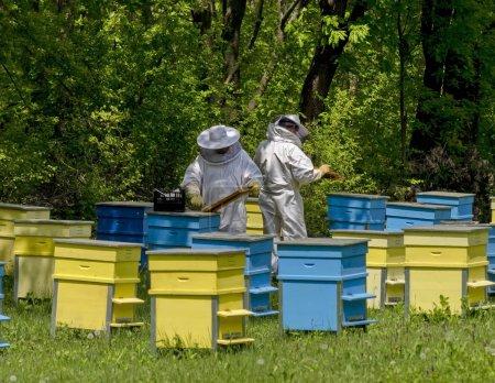 Two bee-masters  in veil at apiary work among hives