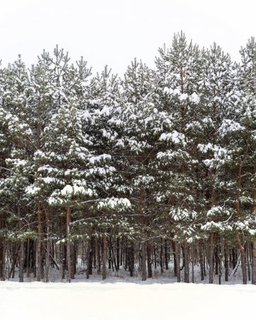 Photo for Pine trees covered with snow in the winter forest. - Royalty Free Image