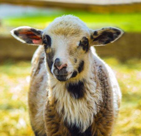 Lamb. Farm animals lamb. Animal lamb. The animal f...