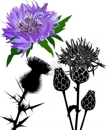 Thistle flower and silhouette