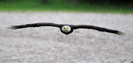 Bald Eagle view