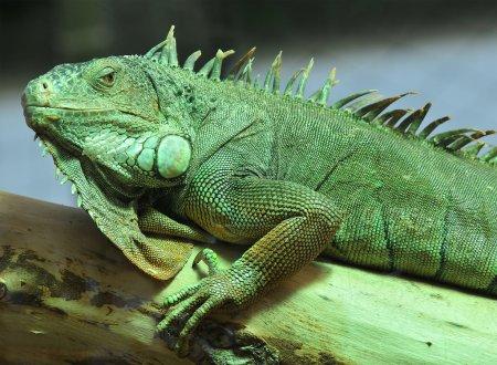 the green iguana resting