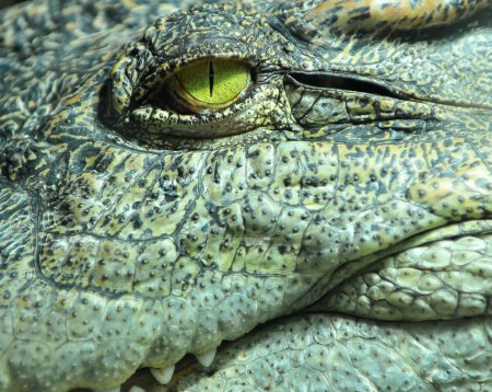 the pitiless eye of a crocodile