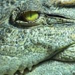 The pitiless eye of a crocodile close up...