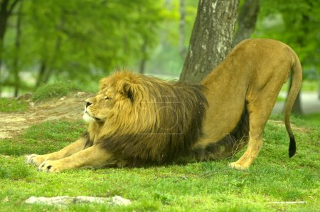 Large male african lion