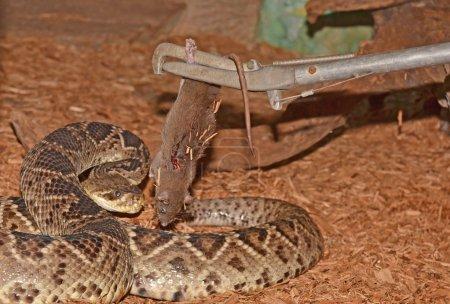 Rattle snake close up
