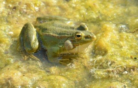 Photo pour Grenouille comestible mâle (rana edulata) appelant, assise dans un suintement vert - image libre de droit