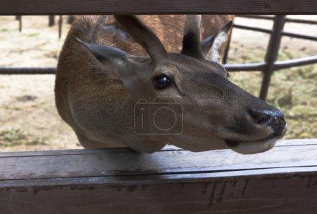 Photo pour Cerf rouge poussé son museau dans l'escrime et la mendicité pour la délicatesse par les visiteurs d'un zoo - image libre de droit