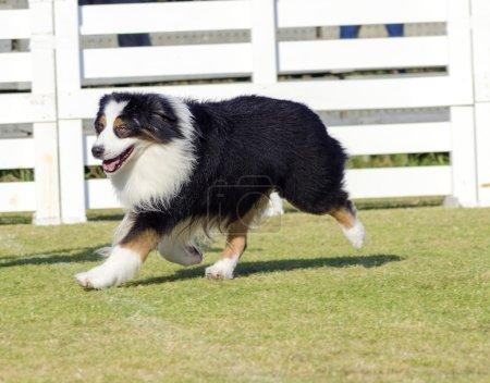 Australian Shepherd dog