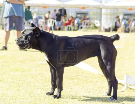 Photo pour Vue de profil d'un jeune chien Cane Corso de taille moyenne noir et blanc avec des oreilles coupées debout sur l'herbe. Le Mastiff italien est un animal puissamment construit avec une grande intelligence et une volonté de plaire . - image libre de droit