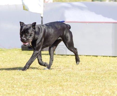Photo pour Un jeune, beau chien Cane Corso de taille moyenne noir et blanc avec des oreilles coupées qui courent sur l'herbe. Le Mastiff italien est un animal puissamment construit avec une grande intelligence et une volonté de plaire . - image libre de droit