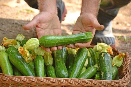 Farmer collecting zucchini