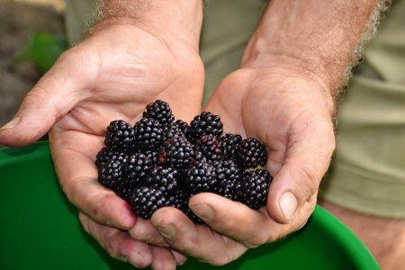 Farmer hands collecting black berries