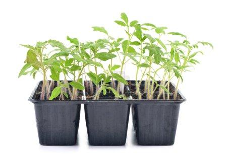 Photo pour Semis de tomate dans un pot isolé sur le fond blanc. Jeunes plantes dans les cellules en plastique, jardinage organique - image libre de droit