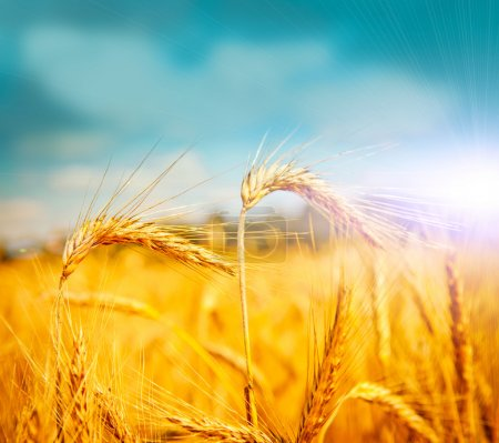 Photo for Golden wheat field in summer - Royalty Free Image