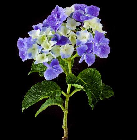 Photo pour Hortensia Hyndrangea Fleurs avec des gouttes d'eau sur fond noir - image libre de droit