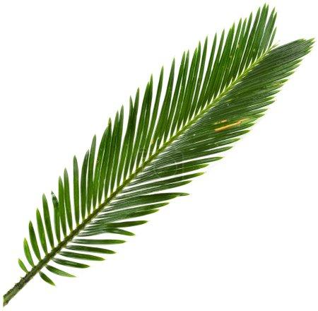Green leaf of palm tree