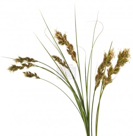 Photo for Bunch of SAND SEDGE Carex grass plant (lat. Carex arenaria) (Cyperaceae) Isolated on white background - Royalty Free Image