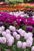 řádky tulipány