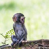 Vervet monkey in Kruger National park, South Africa