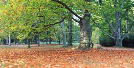 Photo pour Panorama de l'immense vieux hêtre en automne parc au soleil du matin - image libre de droit