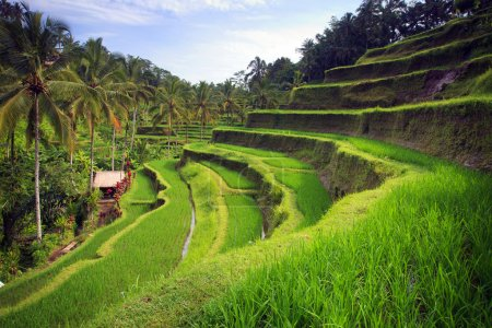 Terrace rice fields in Tegallalang