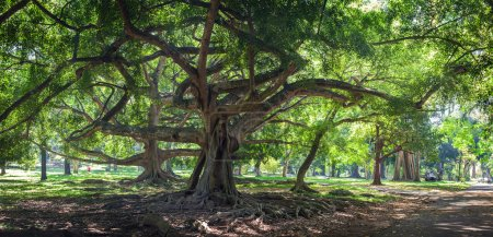 Ficus benjamina with long branches in botanical