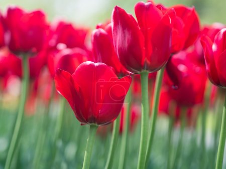 Beautiful red tulip flowers