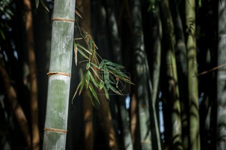 Giant bamboo forest in Kandy