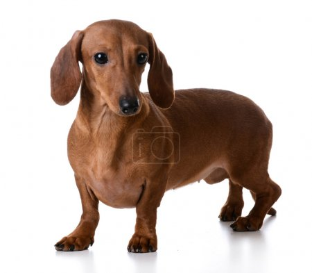 Miniature smooth dachshund
