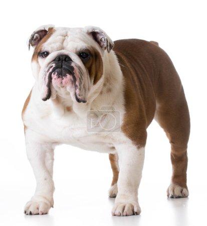 Bulldog standing looking