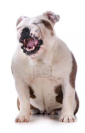 Photo for Funny dog - bulldog with silly expression isolated on white background - Royalty Free Image