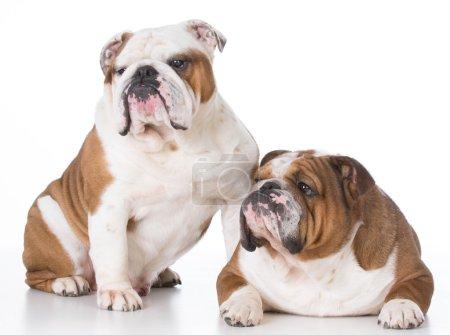 bulldog father and son