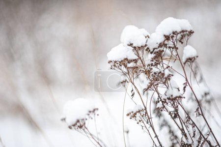 Photo for Part of a dry plant in the snow against the background of a white snow-covered field. Winter snowy landscape. A place for text. High quality photo - Royalty Free Image