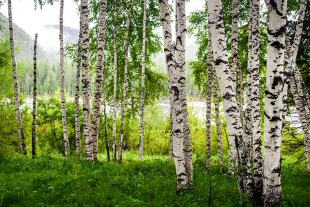 Photo pour Beautiful birch grove on the banks of the river in the Russian Siberia - image libre de droit