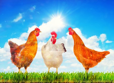 Hens standing on a green grass against sunny sky.