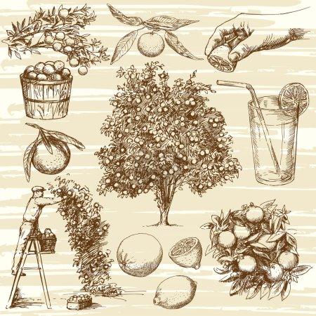 Illustration pour Fruit et arbre orange dessinés à la main. Citron et mandarine. Récolte d'orangers . - image libre de droit