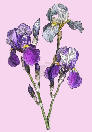 Illustration for Vector branch of blooming irises - Royalty Free Image