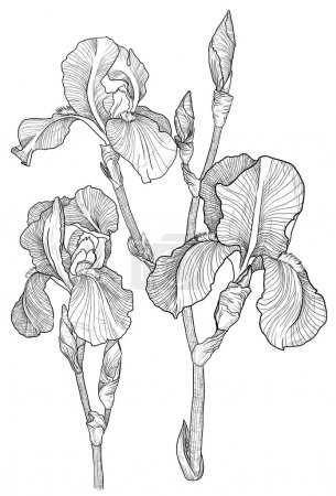 Illustration for Vector Sketch of bouquet of blooming irises - Royalty Free Image