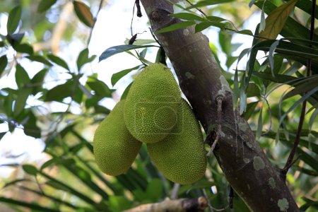 Cluster of breadfruits on the tree - artocarpus al...