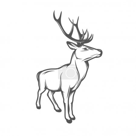 Adult wild deer with antlers isolated on white background