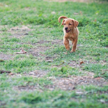 Puppy dog running outdoors