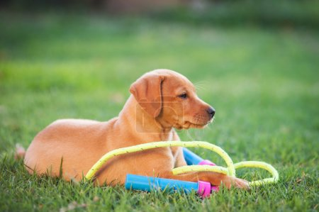 Puppy dog playing wit rope